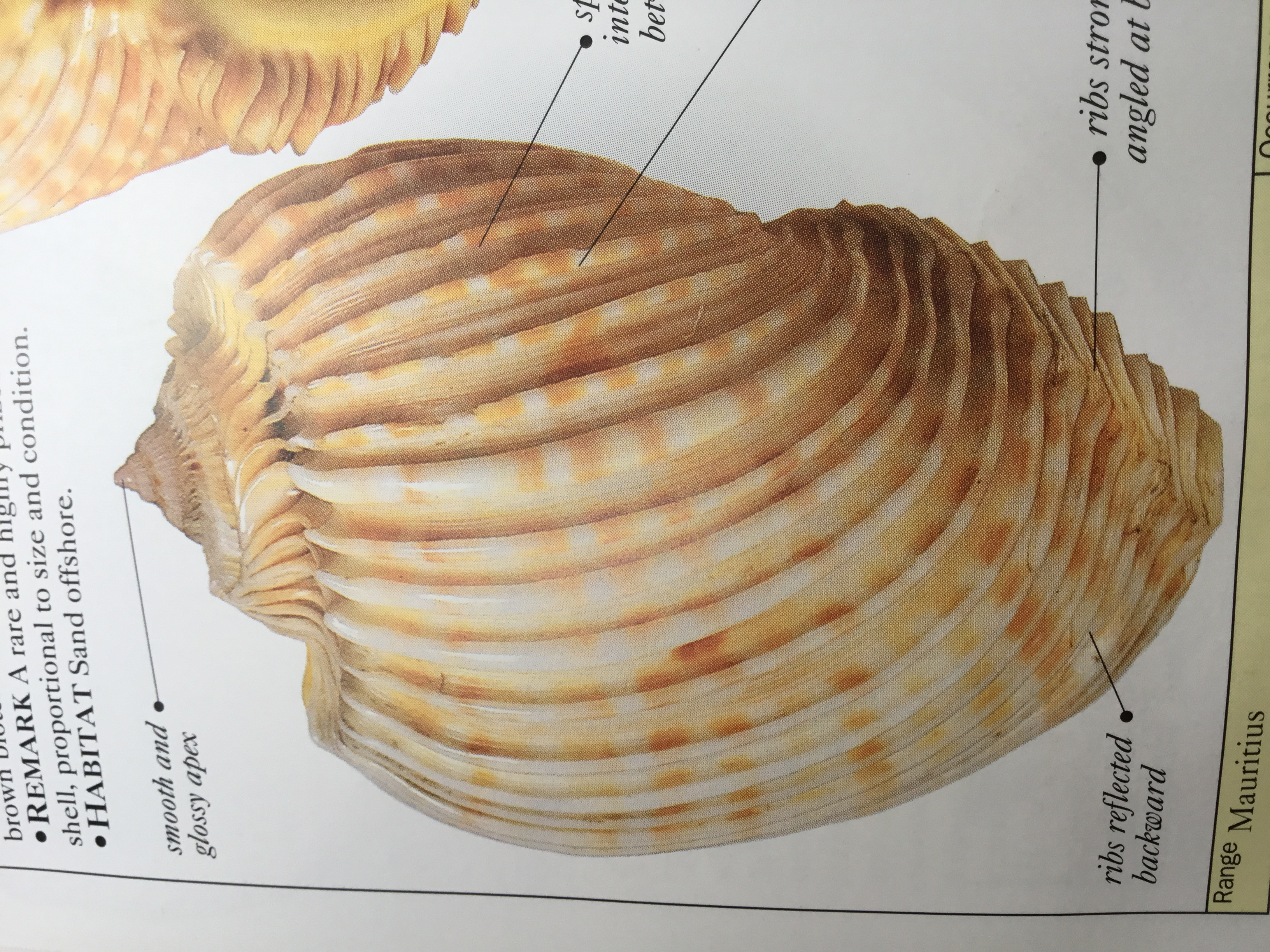 Imperial Harp Shell